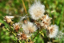 A Close Up Image Of The Fluffy Brown Seeds Of A Milk Thistle Plant In Late Autumn.