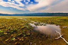 Water Lillies In Wilson Lake, Tehama County.