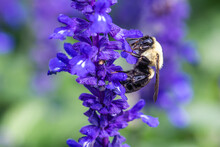 Macro Image Of Bumble Bee On A Purple Flower