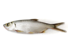 Fresh Indo-Pacific Tarpon Fish Isolated On White Background.Selective Focus.