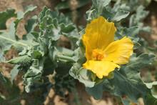 A Yellow Horned-poppy, Glaucium Flavum, Growing On A Shingle Beach In Felixstowe.