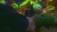 Colourful Oceanic Easter Pacific Painted Greenling, North Atlantic Wolffish, North Pacific Green Surf Anemone, Bat Star, Common Sunstar And Northeast Pacific Giant Pink Sea Star Fishes Swimming In 4K.