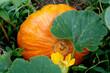 dynia pumpkin natural plants autumn spring colorful natur wild beautiful piękny świat