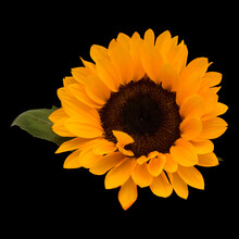 Helianthus Annuus, The Common Sunflower, Isolated On Black Background