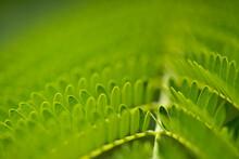Leaves Of Delonix Regia Or Flamboyant, Natural Macro Floral Background