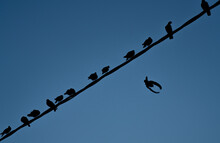 Many Pigeons On A Wire And One Pigeon At Flight