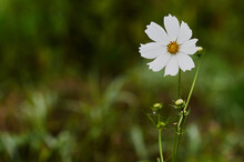 Close Up Of White Flower, Coreopsis In Summer Garden.