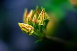 Fototapeta Kwiaty - Azalia rozwijająca kwiaty