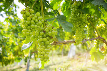 White Wine: Vine With Grapes Just Before Harvest, Sauvignon Blanc Grapevine In An Old Vineyard Near A Winery