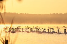 Swans On The Lake At Sunrise