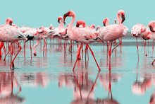 Wild  Life.  Flock Of Pink African Flamingos  Walking Around The Blue Lagoon On The Background Of Bright Sky