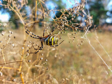 Macro Shot Of Adult, Female Wasp Spider (Argiope Bruennichi) Showing Striking Yellow And Black Markings On Its Abdomen Hanging On Spiral Orb Web