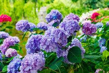Blooming Hortensia Bushes With Beautiful Flowers, Growing On A Pond Shore, With Water On Background. Hydrangea Macrophilla.