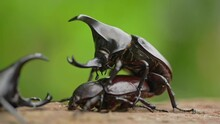 Beetle Mating Takes Place In September And October Every Year In Thailand. And There May Always Be A Fight Between Male Beetles For Females.
