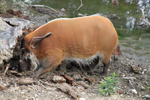 Potamochoerus Porcus - Red River Hog