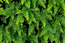 Group Of Healthy Bright Green Fern Fronds Growing In Redwood Forest