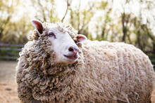 A Wooly Sheep In Farm Yard On Sunny Day.