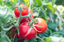 Cracking Of A Tomato As A Result Of Excess Moisture, Overheating Of A Vegetable Or An Overdose Of Fertilizers, On A Bush Close-up. Crop Loss. Problems Of Agriculture, Tomato Disease.