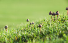Small Mushrooms In The Grass
