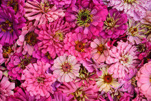 Background, Flat Lay Image Of Pink Zinnia Flower Heads.