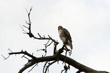 Red-tailed Hawk (Buteo Jamaicensis) On A Dead Tree Banch