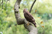 Red-tailed Hawk (Buteo Jamaicensis) Perched On A Crabtree Branch As It Scans For Possible Prey