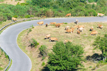 Landscape On A Sunny Day Of A Cattle Herd Around A Winding Road On A Mountain