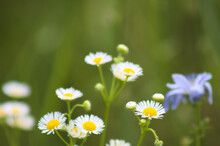 Prairie Fleabane Flowers Closeup With Selective Focus In Background
