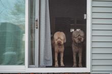 Golden-doodle Dogs Looking Out Screen Door