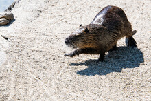 Small Mammal Animal, A Beaver Running On The Gravel To Join The Water Of A Pond
