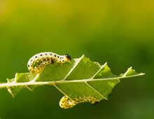 Three Fat Caterpillars Devour One Hazel Leaf. Caterpillars Are Yellow With A Black Head And Black Spots. Macro Shot Of Apple Moth Caterpillars, Apple Ermine. Shallow Depth Of Field. Copy Space.