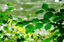 Closeup Of Leaves Nearby The River Enns In Upper Austria