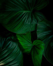 Full Frame Of Green Leaves Texture Background. Tropical Leaf