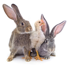 White Chicken And Two Rabbits.