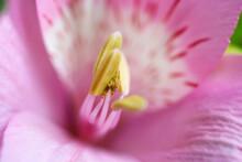 Floral Background With Alstroemeria Pink Flower Petals And Stamen