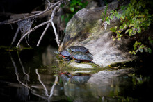 The Painted Turtle (Chrysemys Picta) Is The Most Widespread Native Turtle Of North America