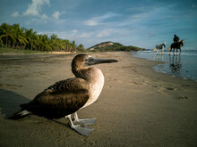 Pelican Resting On The Seashore And Horses In The Background