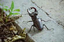 Large Male Stag Beetle On Sidewalk