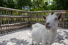 Close-up Of A Goat Looking Into The Camera