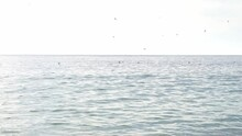 Fishing Birds Flying Right Above Sea And Diving For Food On Sunny Day