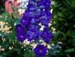 canvas print picture Blue Delphinium Flowers