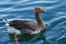 Blue Eyed Grey Goose Portrait. Funny Domestic Waterfowl Purebred Goose Bird. Closeup Of The Muzzle Face Of Goose On Background Of Blue Water