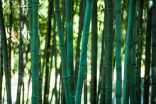 Close Up Of Bamboo Forrest In Damyang