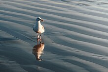 Gull Reflecting In Wet Sand