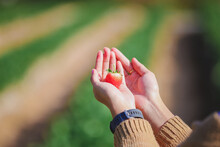 Cropped Hands Of Woman Holding Strawberry