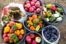 The Buckets Contain The Harvested Crop - Colorful Peppers, Tomatoes, Eggplants, Apples, Plums.