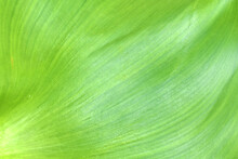 Close-up Of Leaves. Water Hyacinth Is Good For White Background Applications.
