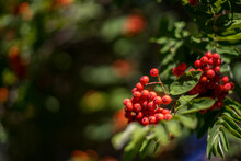 Ash Berries On Branches With Green Leaves, Rowan Trees In Summer Autumn Garden
