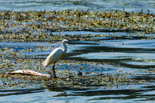 A White Little Egret At The Danube River
