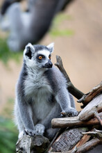 Cute And Playful Ring-tailed Lemur, Endemic Animal In Madagascar
